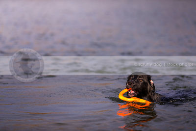 black retriever cross dog with toy swimming in water