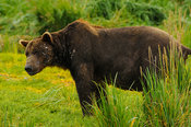 Grizzly Showing Fighting Scars Katmai National Park, AK