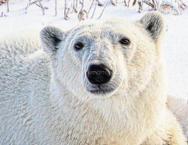 Polar_bear_in_oil