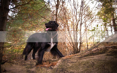 flat coated retrievers & crosses photos