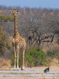 Giraffe drinking at a pan in South Africa