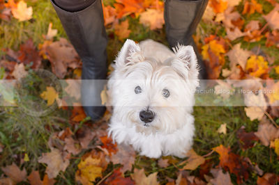 white terrier dog with owner in autumn leaves
