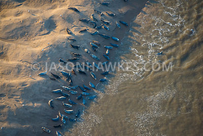 Aerial view of seals on the beach in North Wales