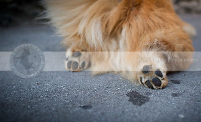 closeup of hairy red dog paws pads from behind lying in urban setting