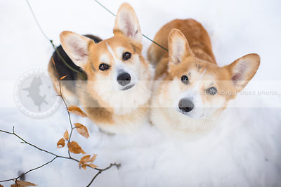 two corgi dogs staring up from winter snow with leaves