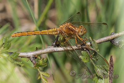 Keeled Skimmer (Orthetrum coerulescens) photos