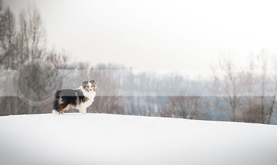 longhaired merle dog standing posing on ridge in winter setting