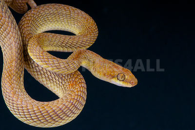 Arabian cat snake / Telescopes dhara photos