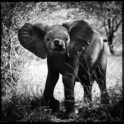 3684-Baby_elephant_in_the_bush_South_Africa_2008_Laurent_Baheux