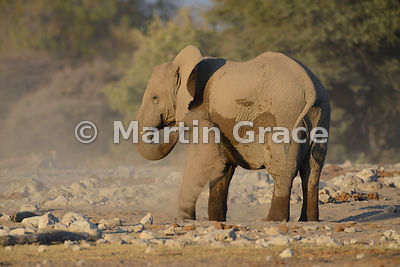 African Elephant (Loxodonta africana) dust-bathing, Etosha National Park, Namibia: Image 2 of 5