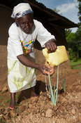 Woman watering Onions in her garden, applying the water directly to the plant to help retain the mositure more efficently. Kenya.