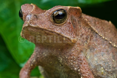 Crested toad (Rhinella margaritifera) photos