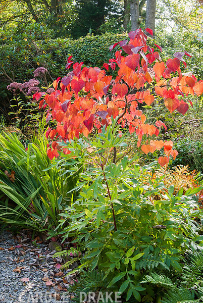 Fiery autumn tones of Cercis canadensis 'Forest Pansy' surrounded by ferns, tree peony and crocosmia. The Cors, Laugharne, Camarthenshire, Wales, UK