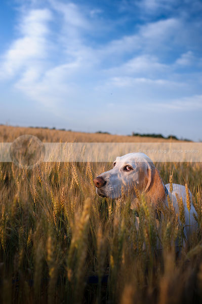 expressive white hound hiding in wheat under blue sky