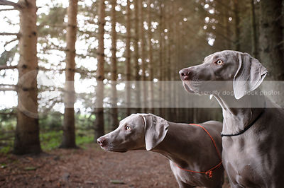 two alert grey pointers in pine forest