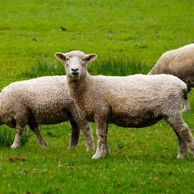 New Zealand Sheep photos