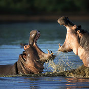 Hippopotamus fighting in the water