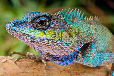 Blue crested lizard  (Calotes mystaceus) photos