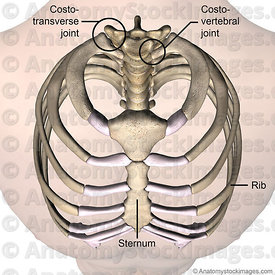 torso-ribcage-ribs-costae-costal-first-1th-rib-costotransverse-costovertebral-joint-sternum-no-disc-front-skin-names