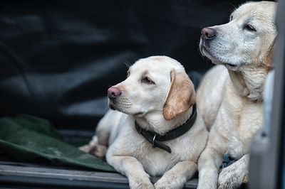 Father & Son - Labradorable Range.