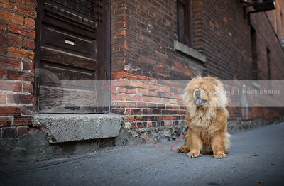 hairy red chow dog sitting by brick wall in urban alley