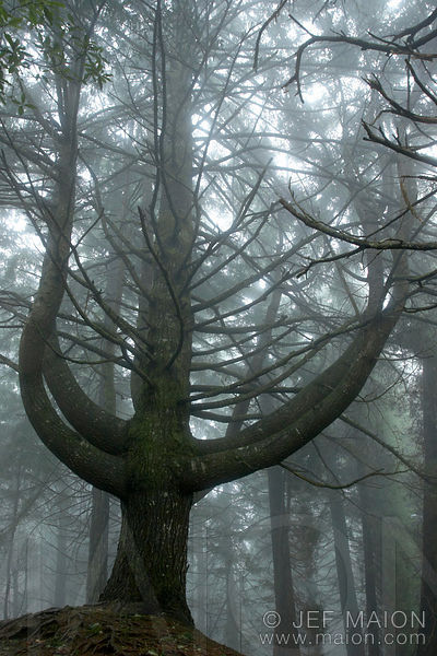 Tree silhouette in the mist