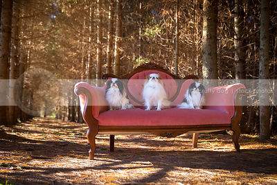 pack of three japanese chin dogs posing on antique settee in forest