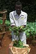 African man holding harvested Napier crop from bag Kenya Africa