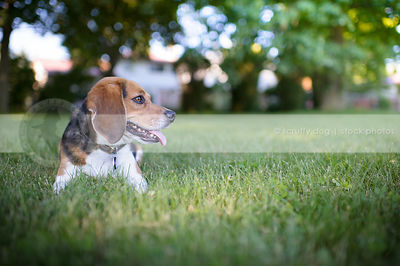 tricolor beagle dog lying in mowed grass in park
