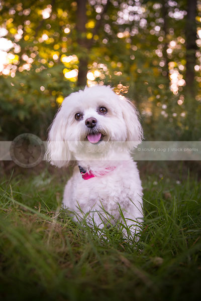 small sweet groomed dog posing in grasses with trees