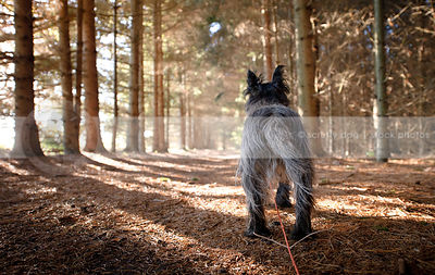 scruffy cairn terrier dog from behind standing in pine forest