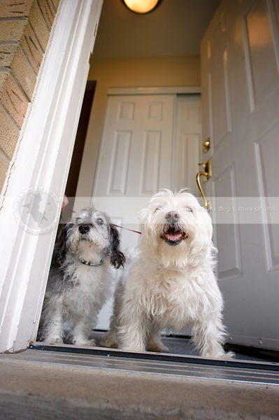 two small dogs at front door ready for a walk