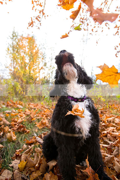 scruffy puppy looking skyward catching leaves in autumn