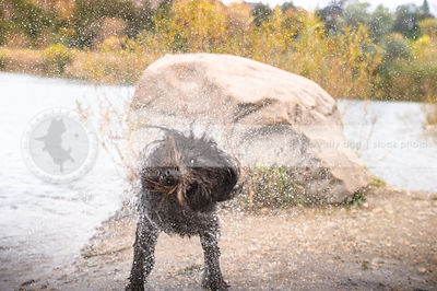 wet black doodle shaking off water on riverbank