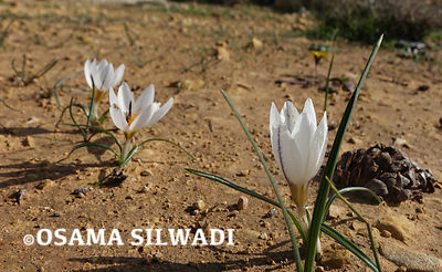 The Wildflowers of Palestine - Crocus hyemalis
