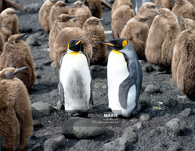 King pinguins (Aptenodytes patagonicus)