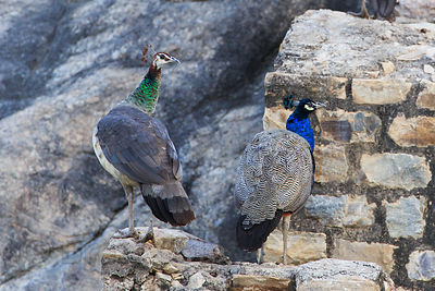 Male and female peacock pair at the Ajaypal Shiva Temple near Pushkar, Rajasthan, India