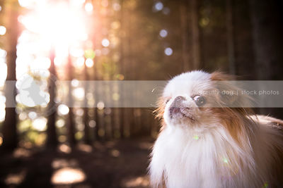 portrait of expressive little dog in forest with sunshine