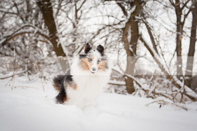 merle sheltie dog running fast in winter snow with trees
