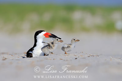 Black Skimmers Shorebirds
