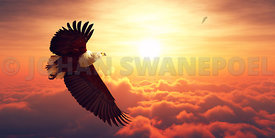 Fish Eagle flying above clouds sunrise