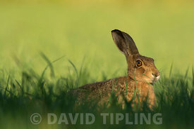 Brown Hare Lepus europaeus resting in corn field in early summer Norfolk