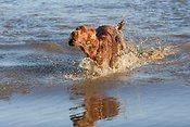 Irish setter playing in pond
