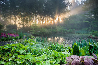 Dawn sunlight breaks through mist and trees above the pond with moored canoe, surrounded by magenta Primula pulverulenta, irises, rodgersias and lysichiton. Windy Hall, Windermere, Cumbria, UK