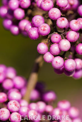 Purple berries of Callicarpa bodinieri 'Profusion'. Kingston Maurward Gardens, Dorchester. Dorset, UK