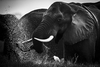 3212-Elephant_playing_with_dust_Laurent_Baheux