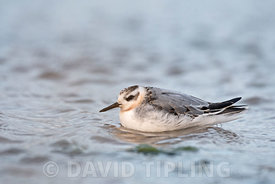 Grey (Red) Phalarope Phalaropus fulicarius juvenile moulting to 1st winter Salthouse North Norfolk September