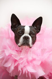 Portrait of Serious Boston Terrier Wearing a Pink Boa