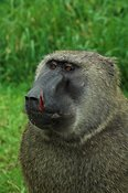 Baboon with a scarred nose, Mbale, Uganda Africa
