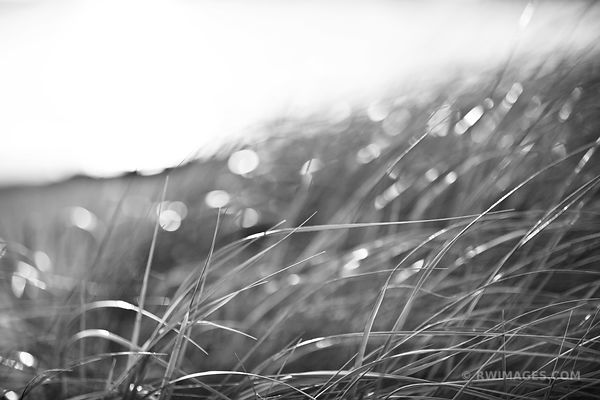 CAPE COD AUTUMN GRASSES NATURE ABSTRACT BLACK AND WHITE